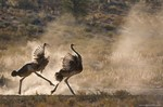 Playfull ostriches (