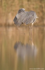 Grey heron looking u