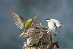 Siskin and Great Tit
