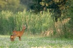 Roe deer with young