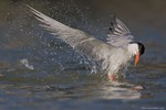 Common Tern emerging