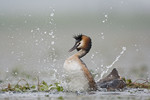 Grebe dancing after