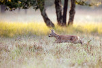 Yound fawn running