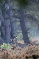 Roe deer at the edge