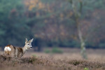 Roe deer in heather