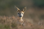 Young roe deer portr