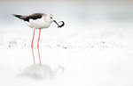 Black-winged Stilt w