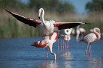 Flamingo\'s mating