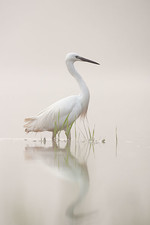 little egret portrai
