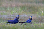 Hyacinth Macaws, Bar