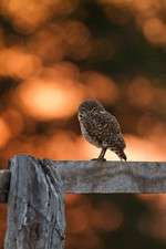 Burrowing Owl in the