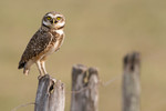Burrowing Owl, Barra