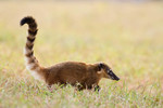 Coati on the prowl,