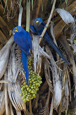 Hyacinth Macaws feed