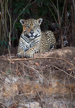 Jaguar resting on a