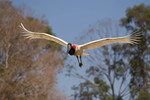 Jabiru in flight, Fa