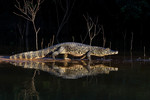 Spectacled caiman al