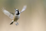 Crested tit in fligh