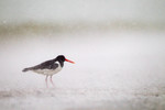 Oystercatcher in the