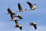 Cranes in flight, Pr