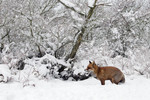 Fox in the snow, Ams