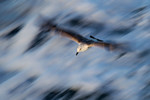 Herring gull above t