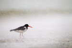 Oystercatcher in hea