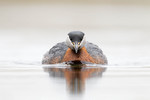 Red-necked Grebe app