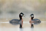 Red-necked Grebes co