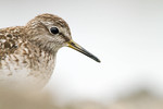 Wood Sandpiper close