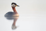 Red-necked Grebe in