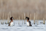 Red-necked Grebes da