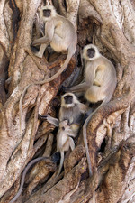 Langur Monkeys in a