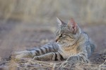 African wildcat at e