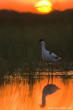 An avocet at sunset