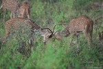 Male chital fighting