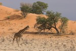 Giraffe walking in t