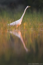 Great white egret in