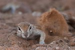 Ground squirrel taki