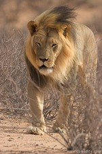Male lion walking in