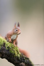 Red squirrel looking