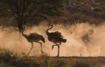 Ostriches running in