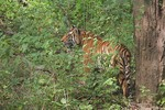 Tiger in dense fores