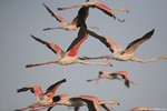 Flamingo\'s in fligh