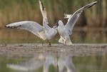 Black-headed gulls f